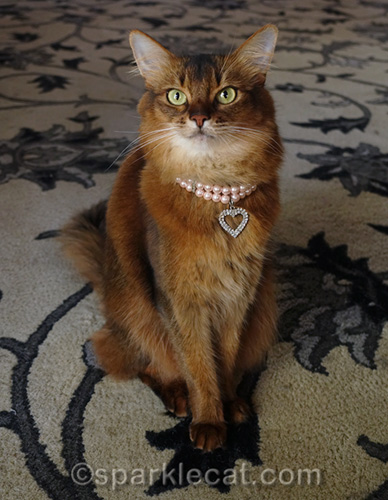 somali cat wearing a fancy cat collar