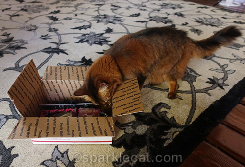 somali cat checking out the prizes