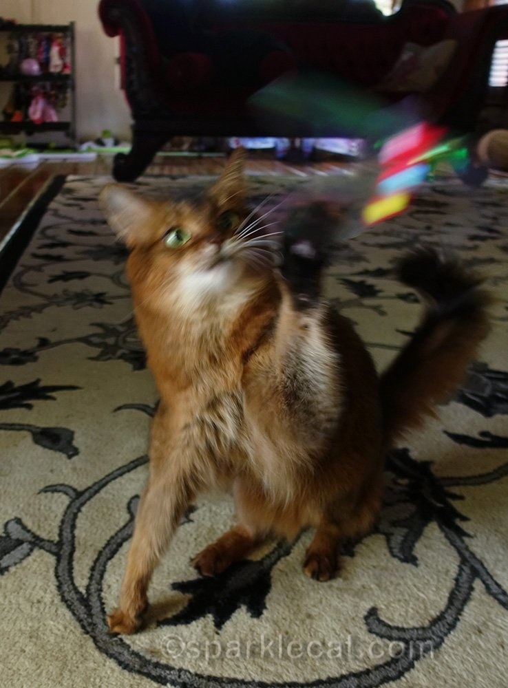 somali cat playing with the Rustlin Butterly Teaser