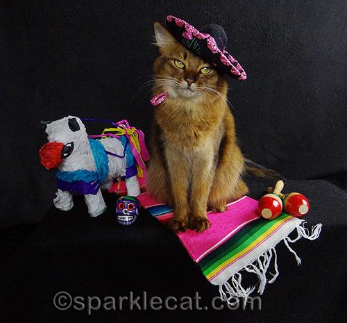 somali cat looks coy in sombrero