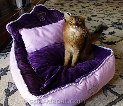 somali cat getting comfortable in new cat bed
