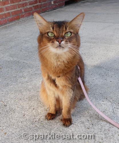 somali cat waiting to model her new spring dresses
