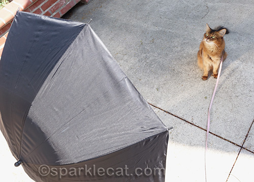 somali cat in front of reflective umbrella