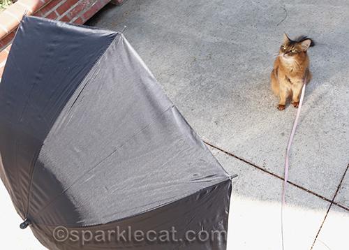 somali cat in front of reflective umbrella