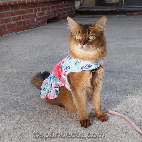 Somali cat in overexposed photo