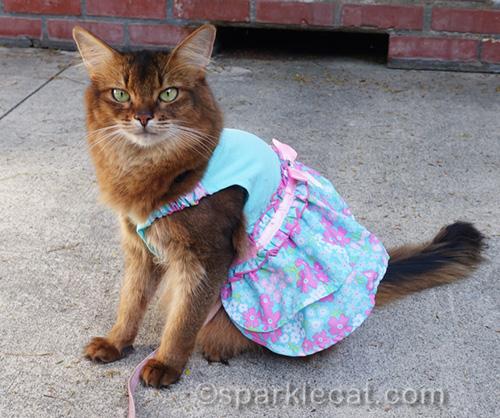 somali cat in turquoise spring dress