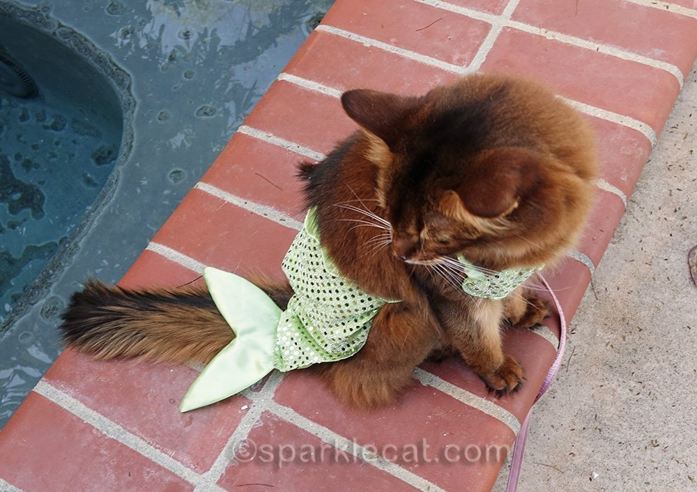somali cat in mer-kitty costume from above