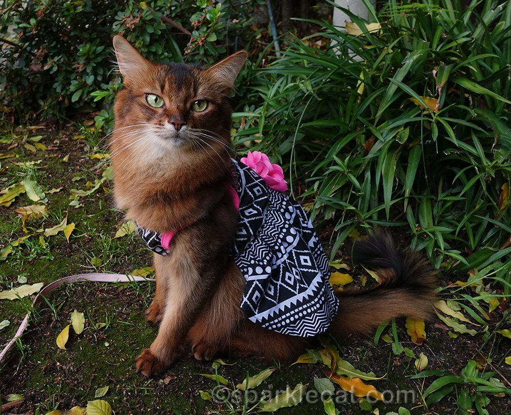 somali cat wearing lightweight dress with pink flower on the back