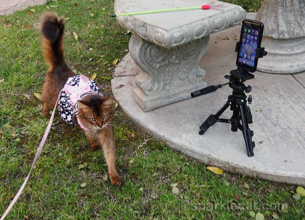somali cat on leash and in dress during photo shoot