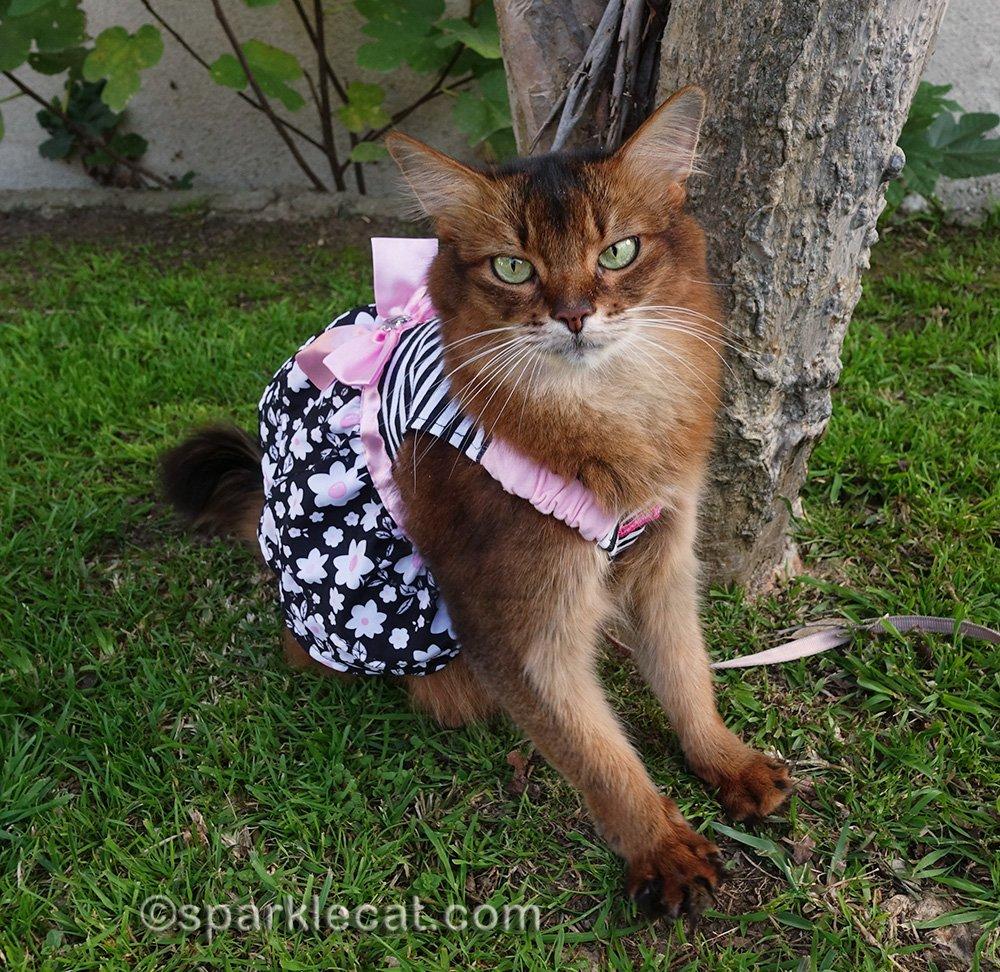 somali cat in dress posing by tree