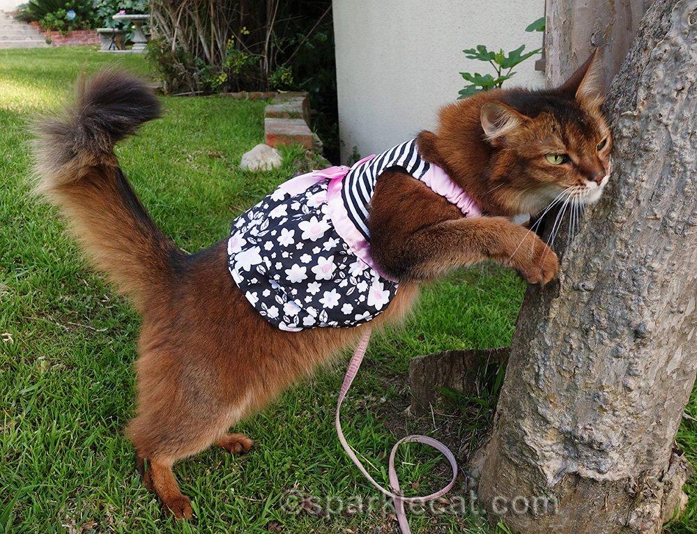 somali cat rubbing against tree