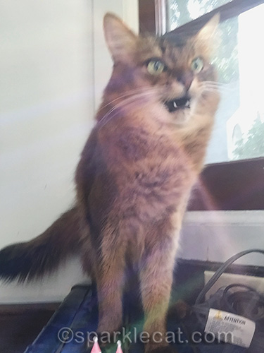 somali cat in derpy pose