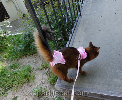 somali cat in bikini with tail wrapped around fence railing
