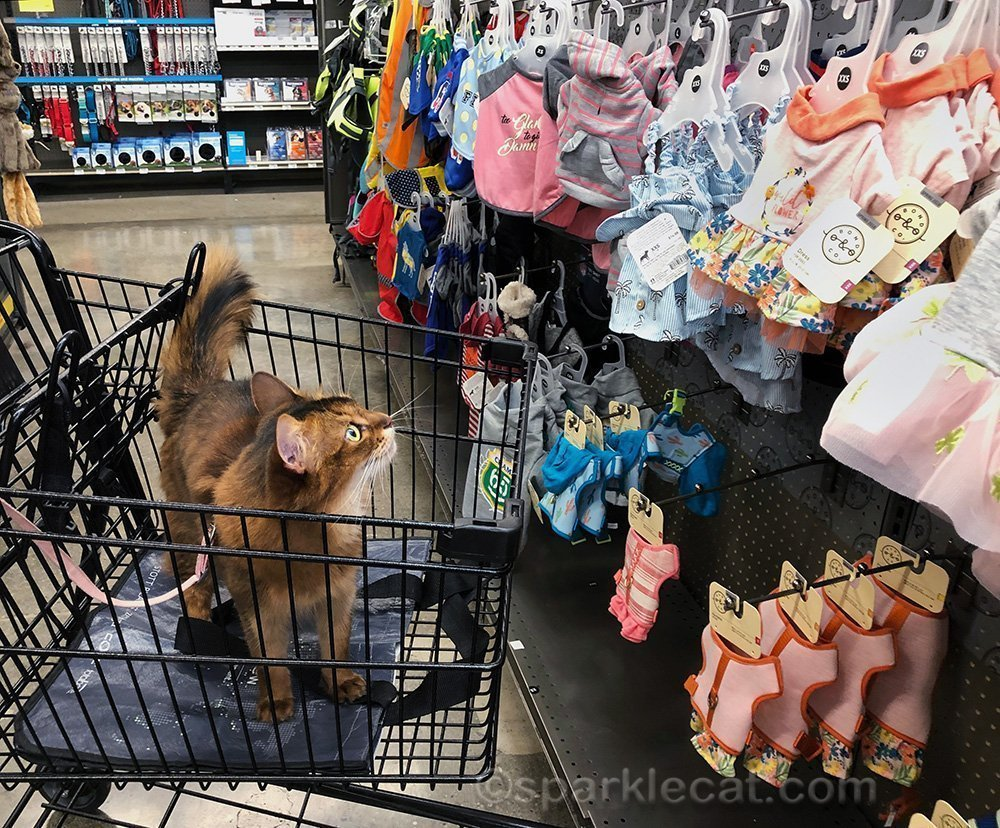 somali cat looking at pet fashion during a quick trip to the pet store