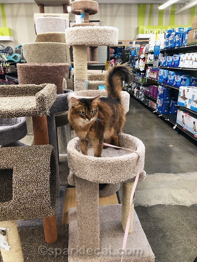 somali cat on a cat tree in a pet store