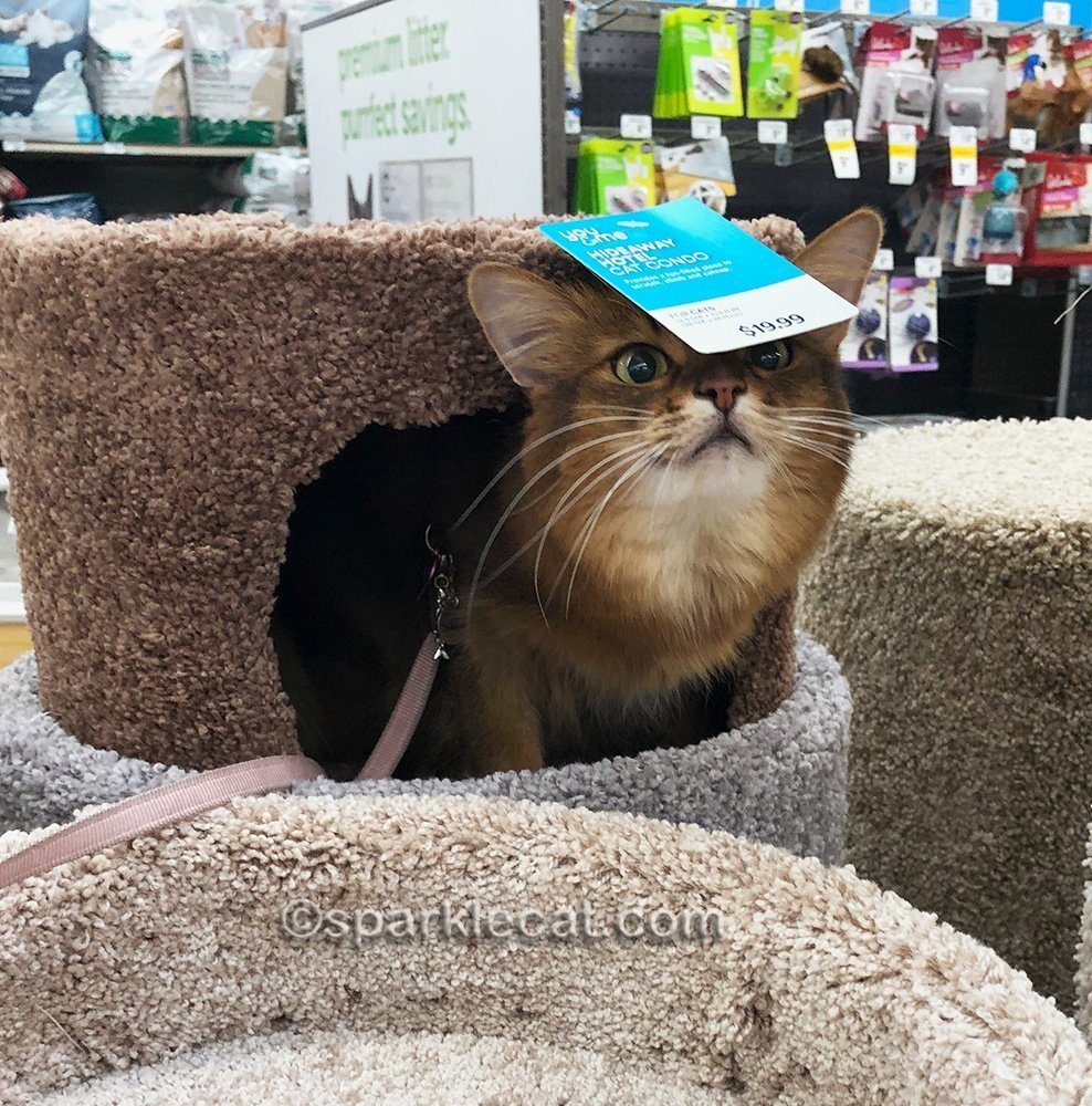somali cat playing around in cat cubicle at pet store
