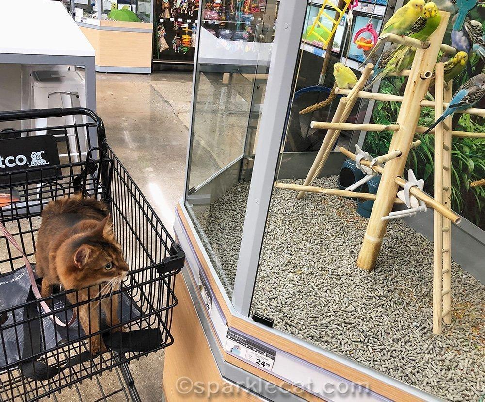 somali cat looking at parakeets at pet store
