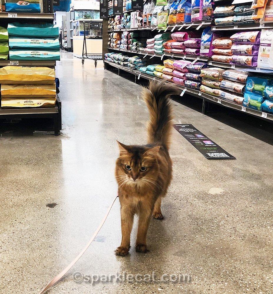 somali cat on leash in pet store