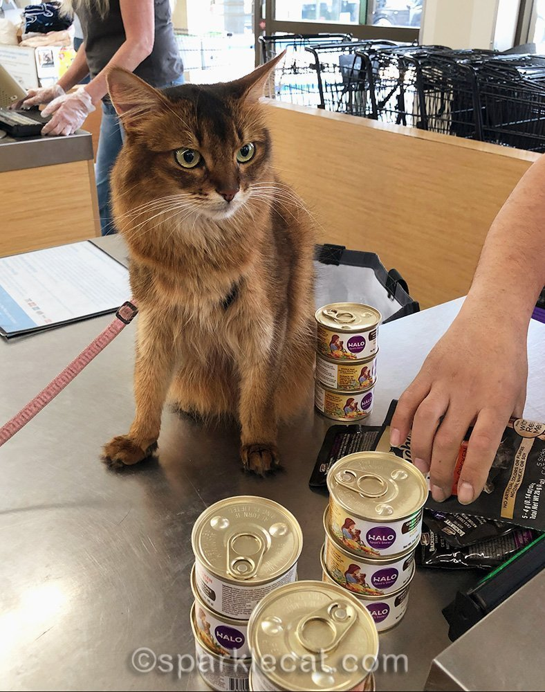 somali cat sitting on pet store checkout counter