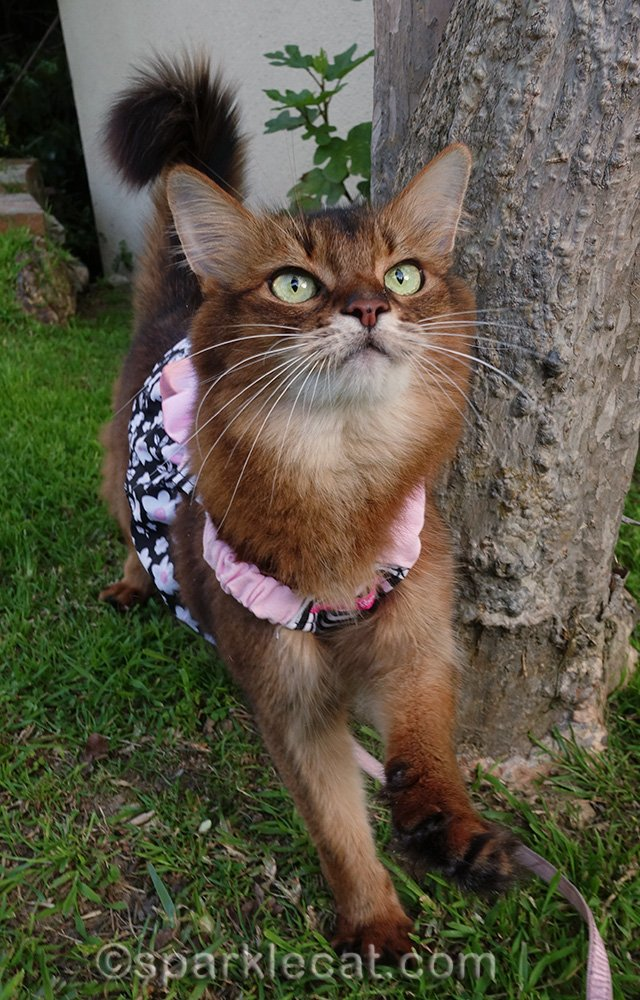 somali cat in dress by tree