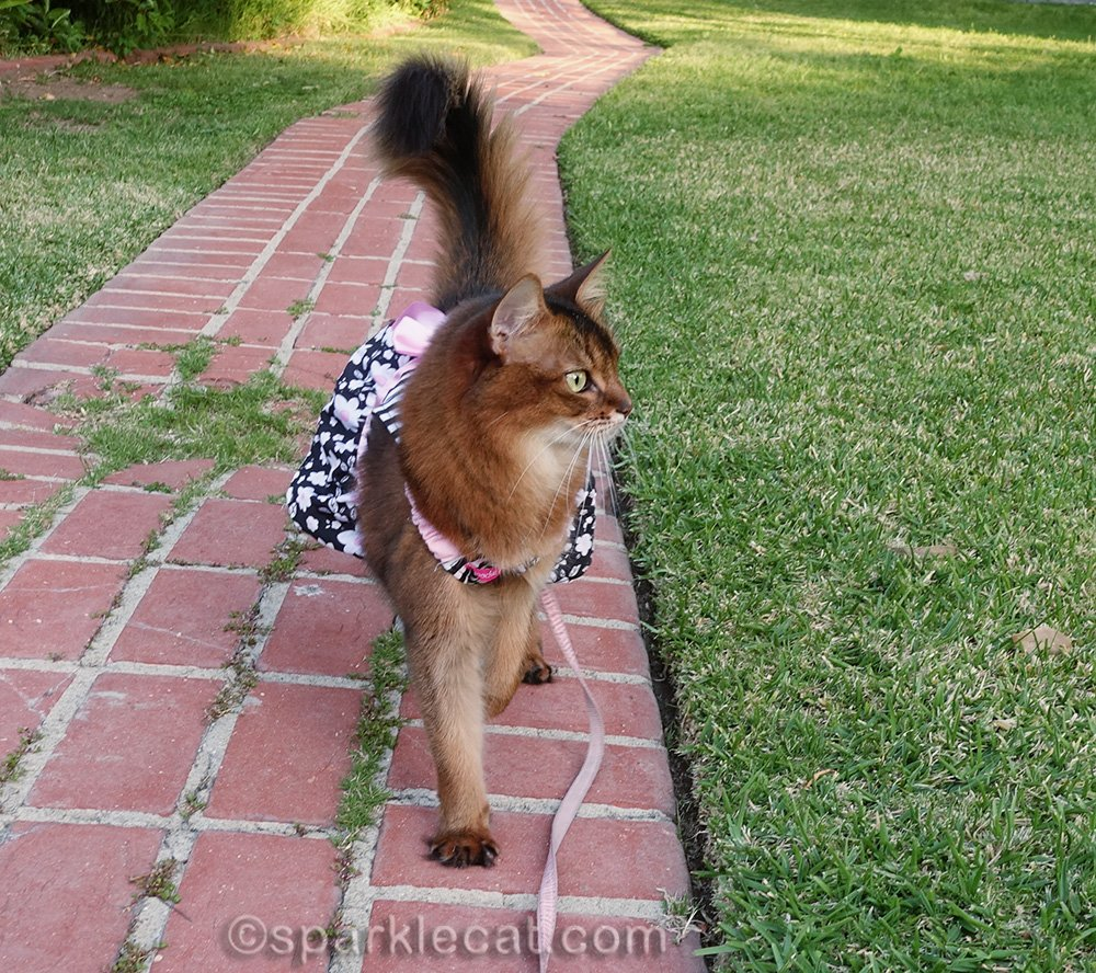 somali cat in dress and on leash looking around