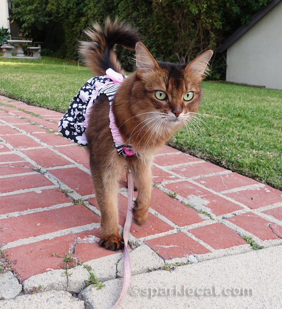 somali cat in dress by curbside