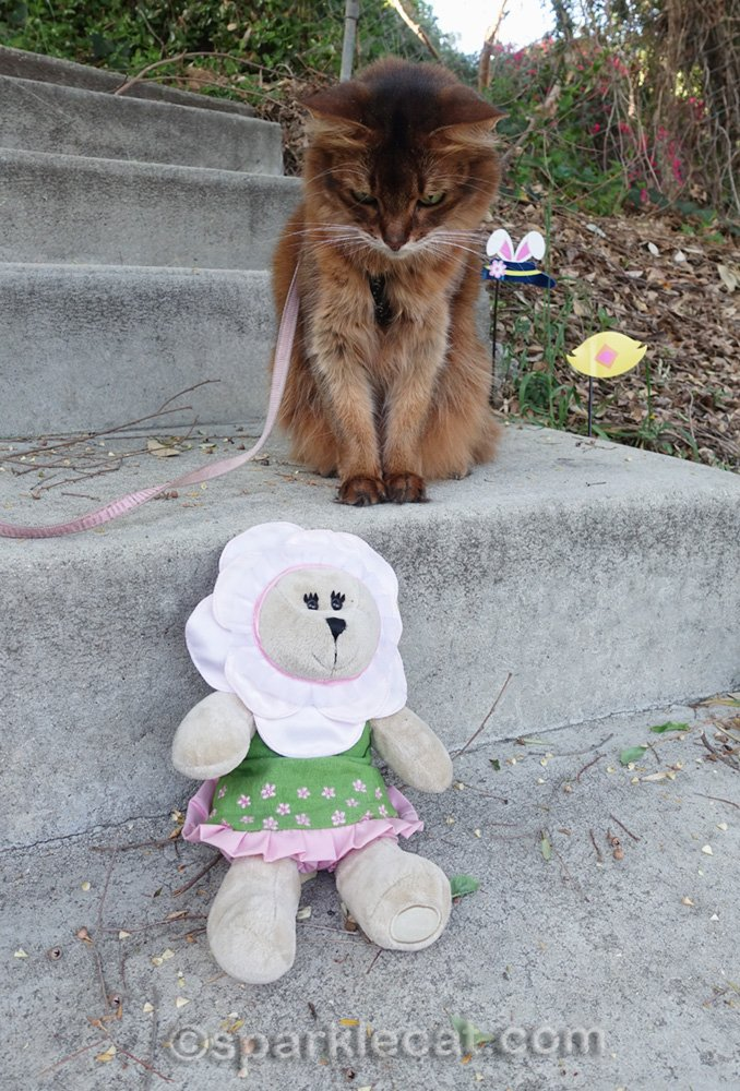 somali cat looking a bear stuffie in spring outfit