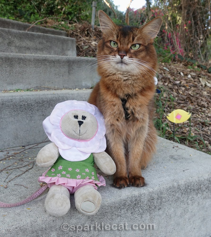 somali cat sitting next to bear stuffie