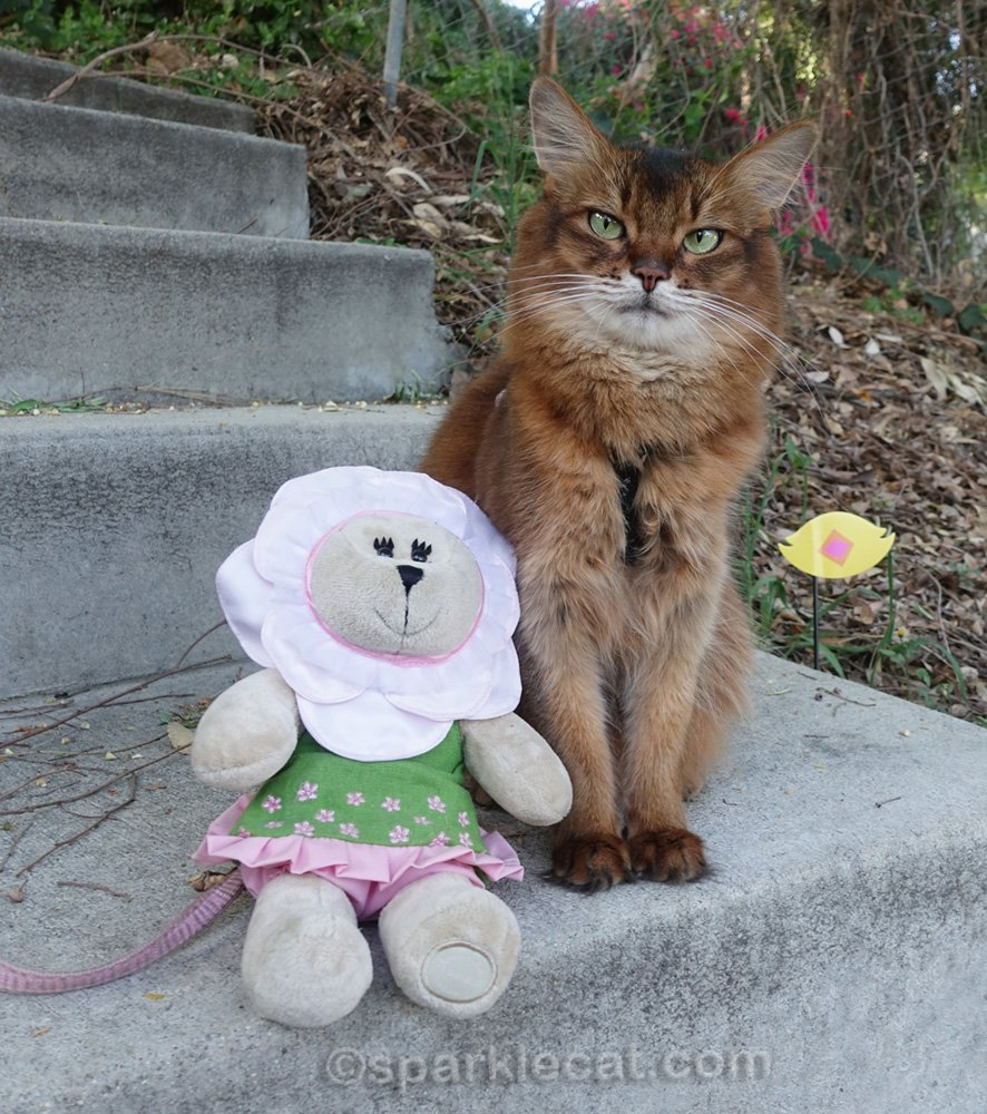 different angle of Somali cat sitting with bear stuffie