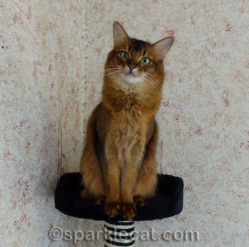 somali cat writer looking surprised