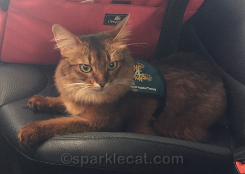 somali cat after therapy cat visit to college