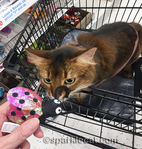 somali cat checking out cat toy