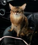 somali cat not thrilled about taking selfing in the car
