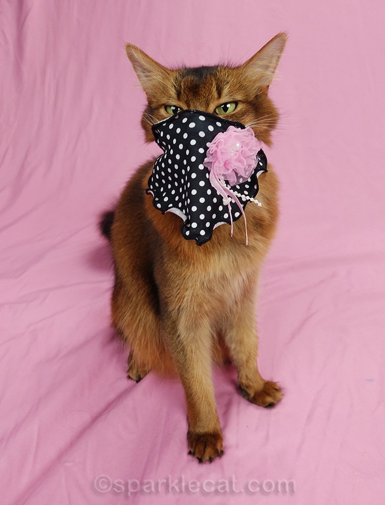 somali cat wearing scarf as a mask.