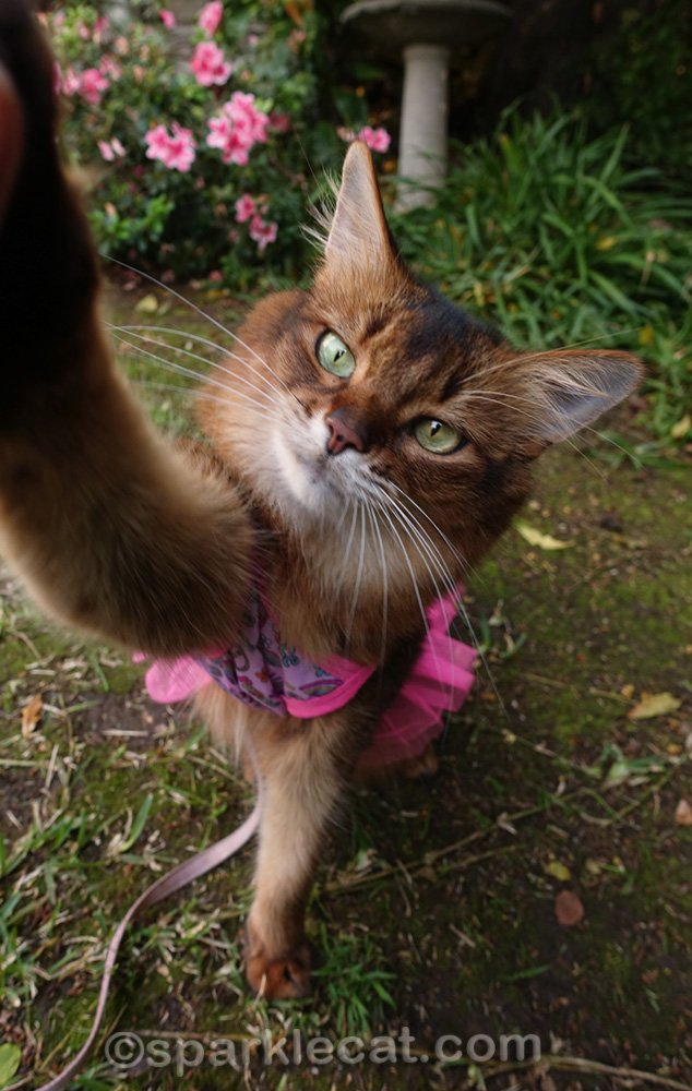 Somali cat in hippie dress giving a high five