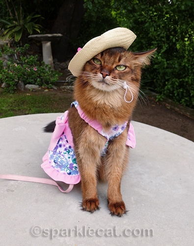 somali cat wearing straw hat and spring dress for a modeling session