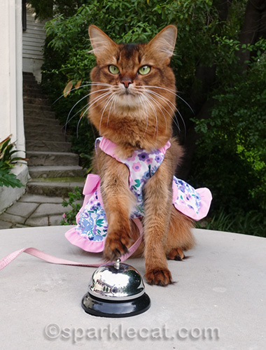 somali cat in dress practicing bell ringing