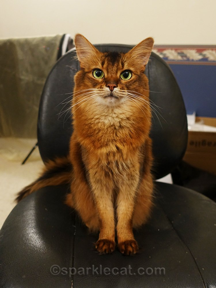 perky somali cat in office chair
