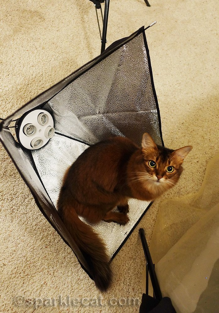 somali cat helping set up a soft box