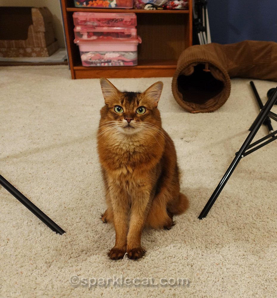 somali cat sitting in her photo studio