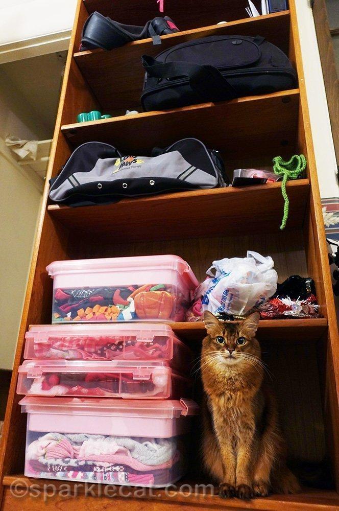 somali cat sitting in storage shelving
