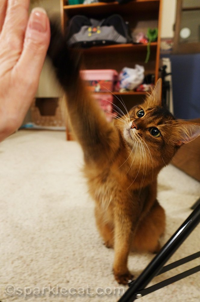 somali cat giving her human a High Five