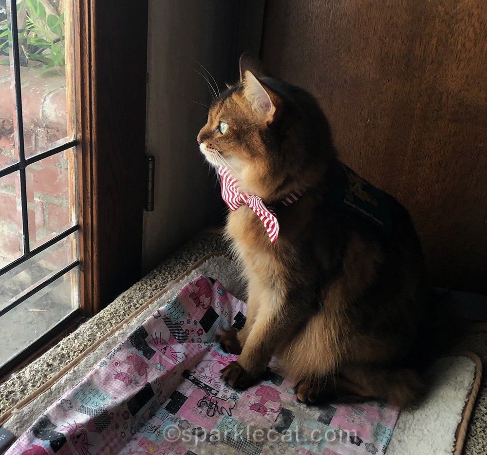 somali cat looking out leaded glass door