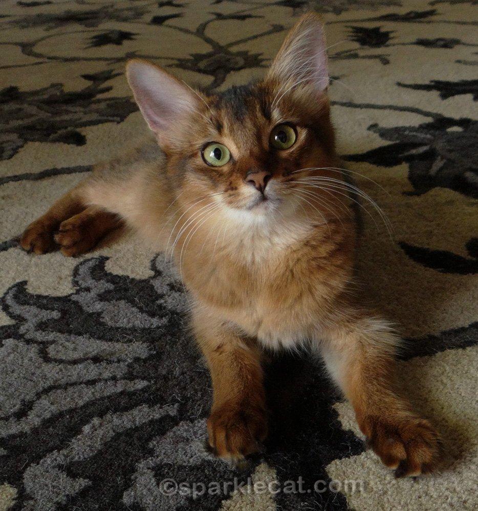 6 month old somali kitten