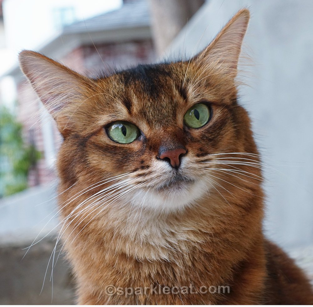 somali cat with a tiny hint of a nose freckle