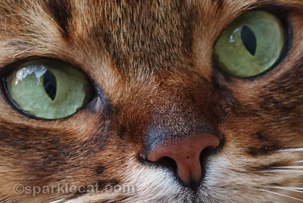 closer look at somali cat nose with freckles