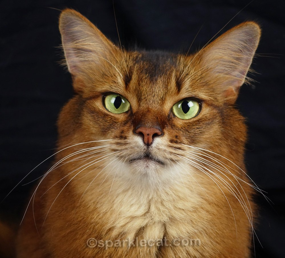close up of somali cat with noticeable freckle on nose