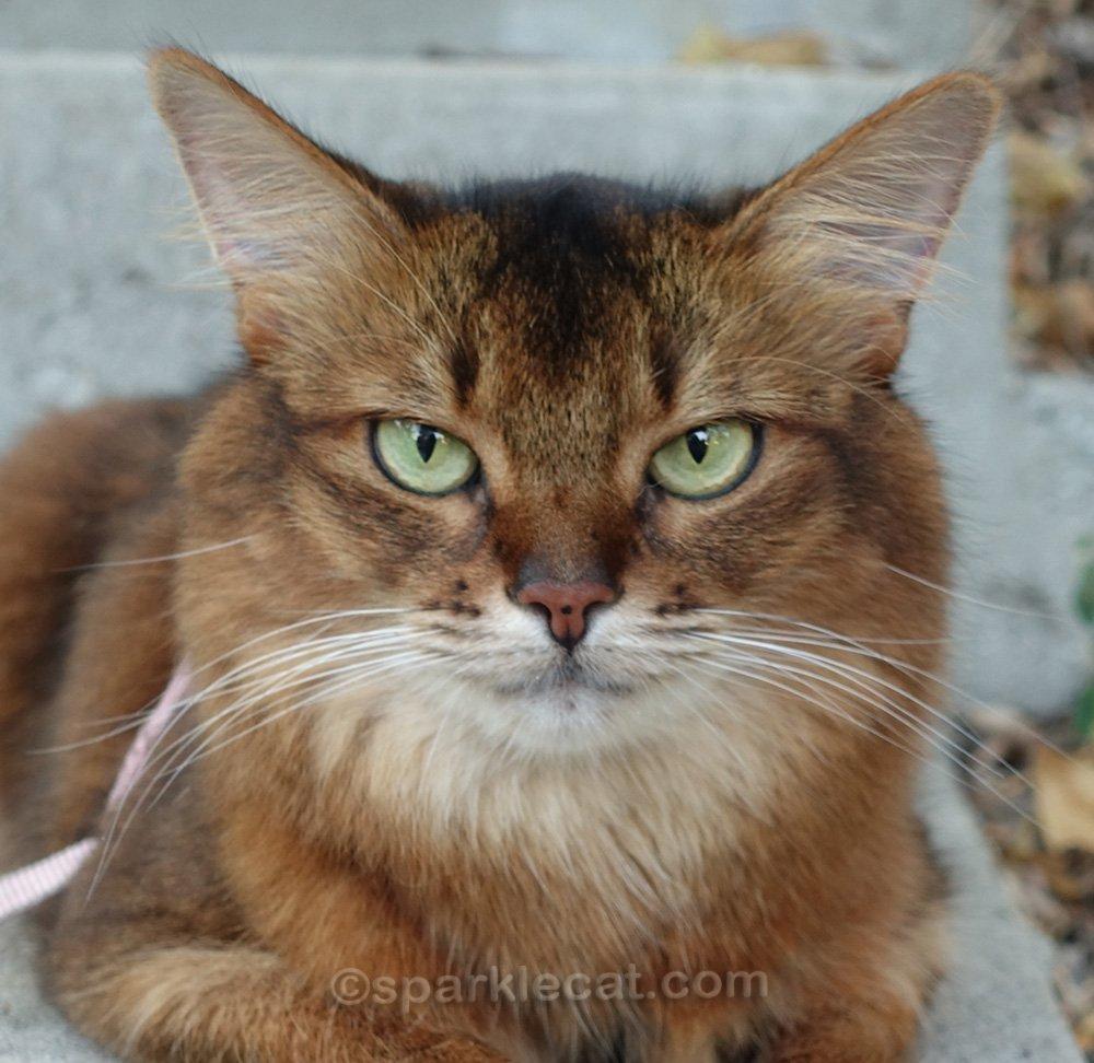 somali cat with slightly larger freckle on nose
