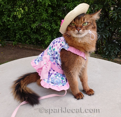 somali cat wearing a straw hat and dress