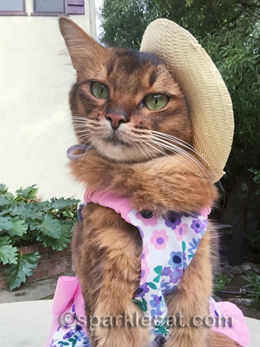 somali cat takes selfie in straw hat